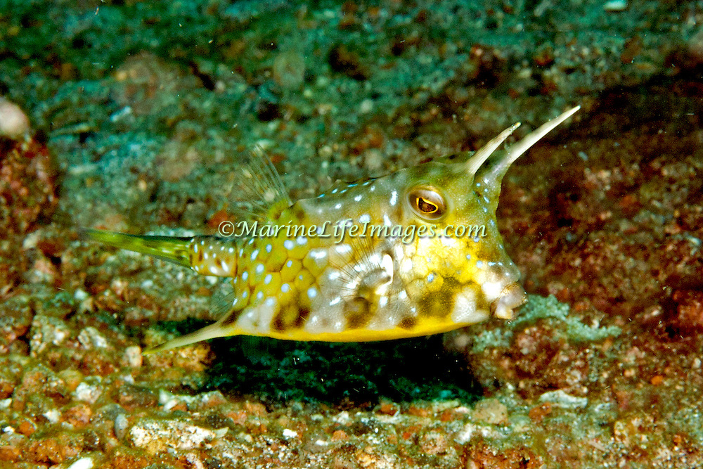 Longhorn Cowfish inhabit sand and mud bottoms. Picture taken Lembeh Straits, Sulawesi, Indonesia.