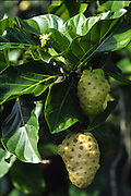 Noni, fruit, Hawaii<br />