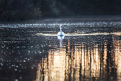 © Licensed to London News Pictures. 19/04/2016. Leeds UK. A swan moves across the water at Golden acre park in Leeds at first light this morning.  Photo credit: Andrew McCaren/LNP