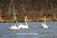00759-00311 Three Tundra Swans (Cygnus columbianus) in wetland at Prairie Ridge State Natural Area, Marion Co., IL
