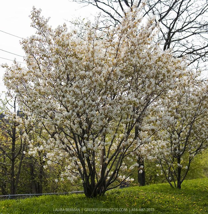Amelanchier lb0805 greenfuse photos garden for Serviceberry tree