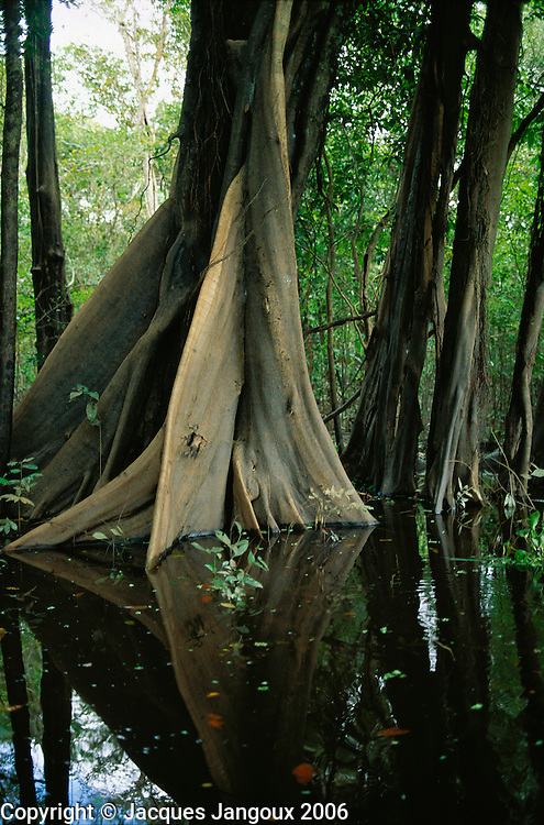 Buttresses of tree in swamp forest (mata de igapo) in Mamiraua reserve in Amazon region, Brazil.