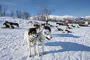 Alaskan Huskies harnessed for dog-sledding at Villmarkssenter wilderness centre, Kvaloya Island, Tromso in Arctic Circle Northern Norway