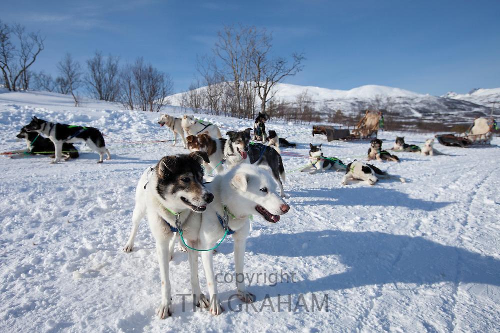 Alaskan Huskies harnessed for dog-sledding at Villmarkssenter wilderness centre, Kvaloya Island, Tromso in Arctic Circle Northern Norway