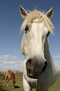White horses of Camargue, France are born black or dark brown. This  image shows a female horse with her foal.