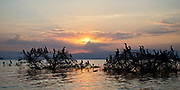 Sunset and resting cormorants at Lake Naivasha, Kenya.