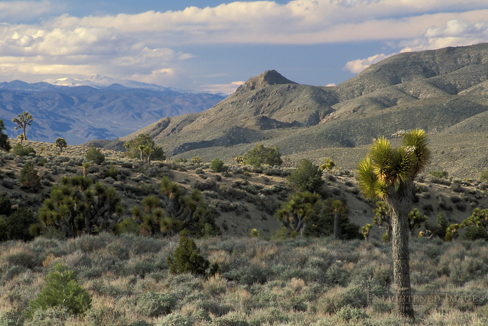 Joshua Trees at Lee Flat, Death Valley National Park, California