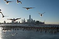 New York view from Hoboken New Jersey  ,   United states   / des mouettes et le skyline de Manhattan Dowtown, l Hudson river, vue depuis Hoboken New Jersey  New York Etats-unis