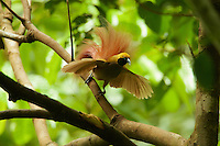Goldie's Bird of Paradise (Paradisaea decora)<br />adult male at display site in the canopy performing courtship display