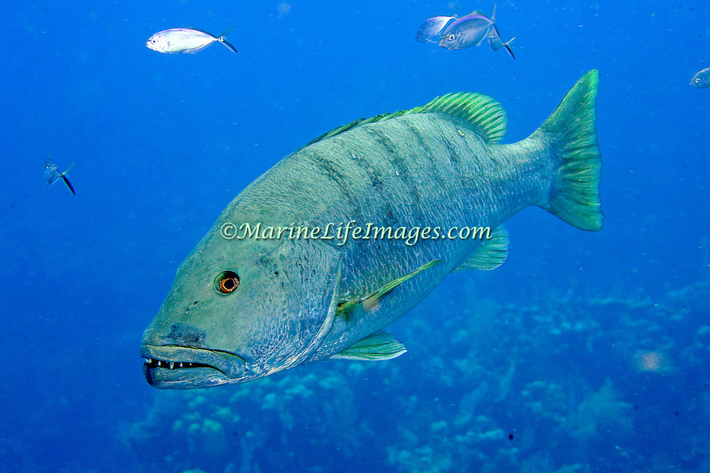 Cubera Snapper inhabit deep reefs, usually below 60 feet, in Tropical West Atlantic; picture taken Roatan, Honduras.