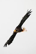 JAPAN, Eastern Hokkaido.Steller's sea eagle (Haliaeetus pelagicus) in flight (IUCN 2010: Vulnerable)