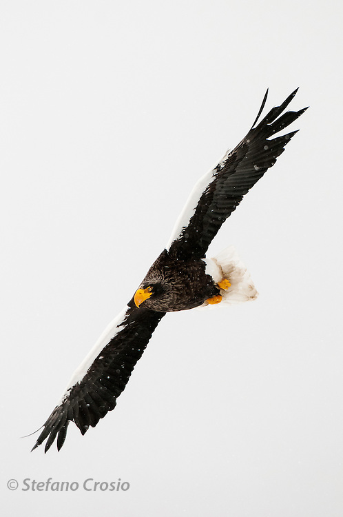 JAPAN, Eastern Hokkaido.Steller's sea eagle (Haliaeetus pelagicus) in flight (IUCN 2010: Vulnerable)