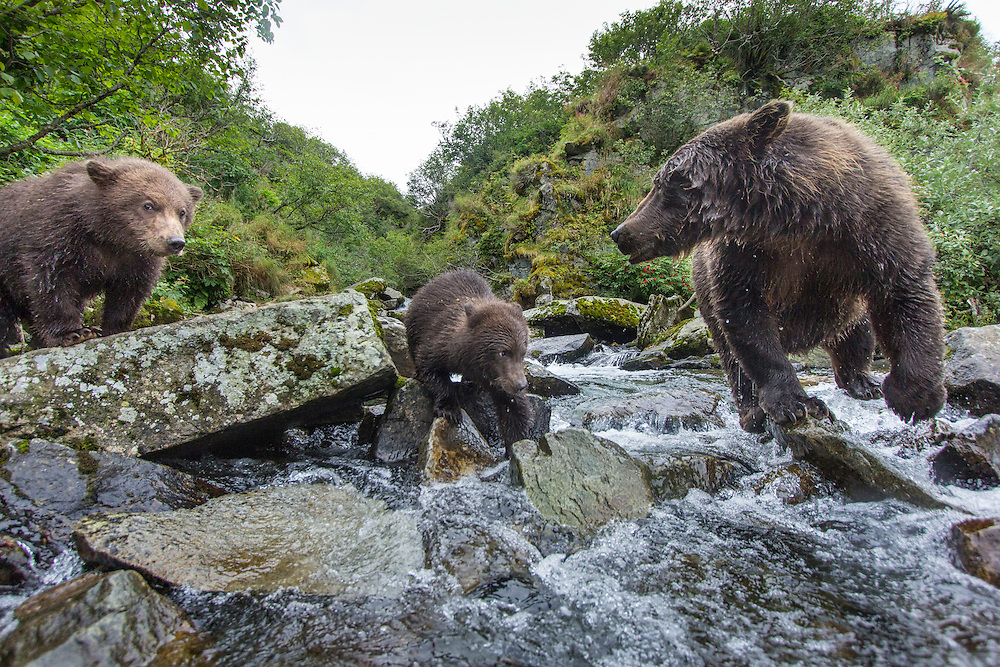 USA, Alaska, Katmai National Park, Wide-angle view of Coastal Brown Bear and Spring Cubs (Ursus arctos) photographed by remote camera along salmon spawning stream by Kuliak Bay