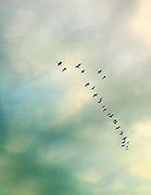 Geese flying south. (Sam Lucero photo)
