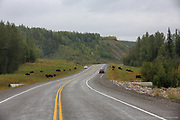 Wildlife, like Wood bison, abound along the ALCAN Highway.