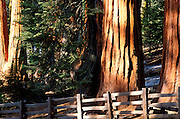Giant Sequoias amid young pines in the Giant Forest (wooden fence in foreground), Sequoia National Park, California USA