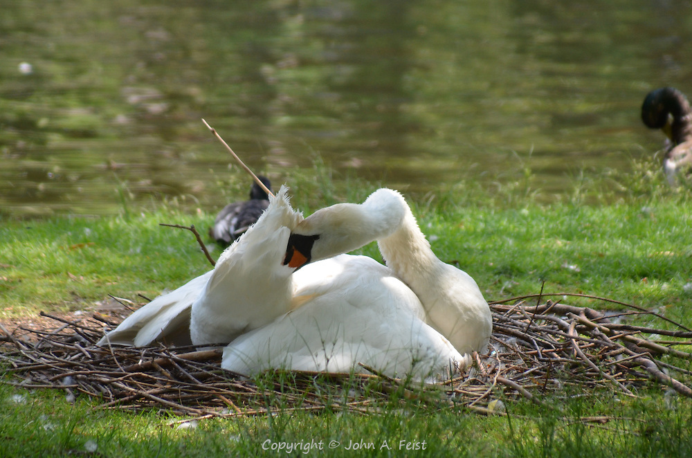 A swan preening at the Boston Public Garden, Boston, MA