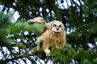 We have had the pleasure of watching a nest with 3 baby great horned owls at Carburn Park this spring. The owlets are just starting to fly and are getting really big.<br /> <br /> ©2013, Sean Phillips<br /> http://www.RiverwoodPhotography.com