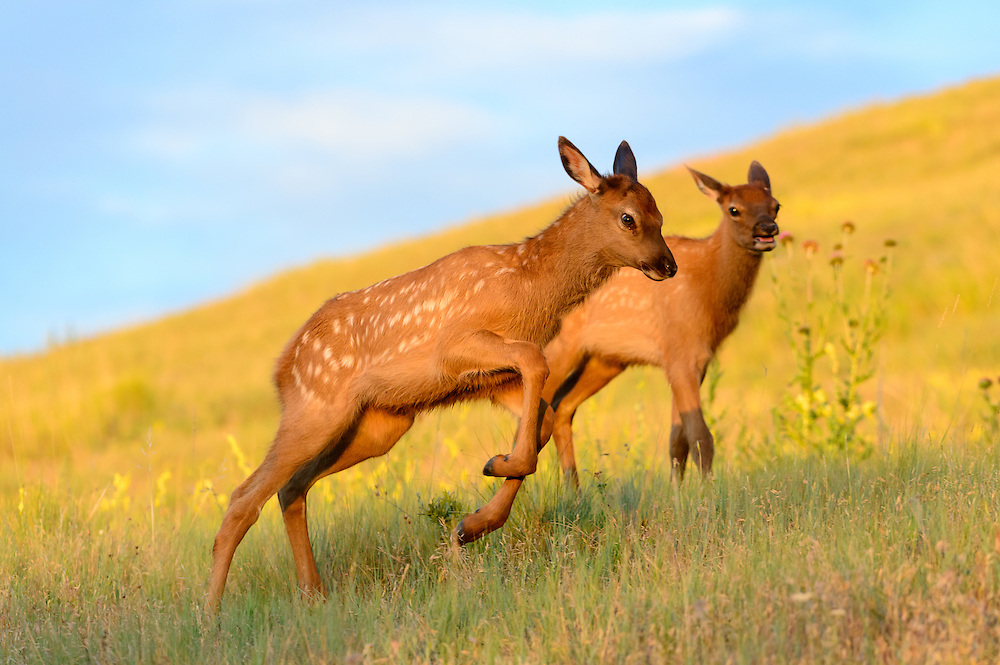 Elk calves (Cervus elaphus canadensis) at play, Western North America