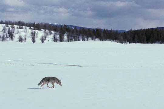 Coyote, (Canis latrans) in Swan Lake Flats of Yellowstone Park. Winter. Yellowstone National Park.