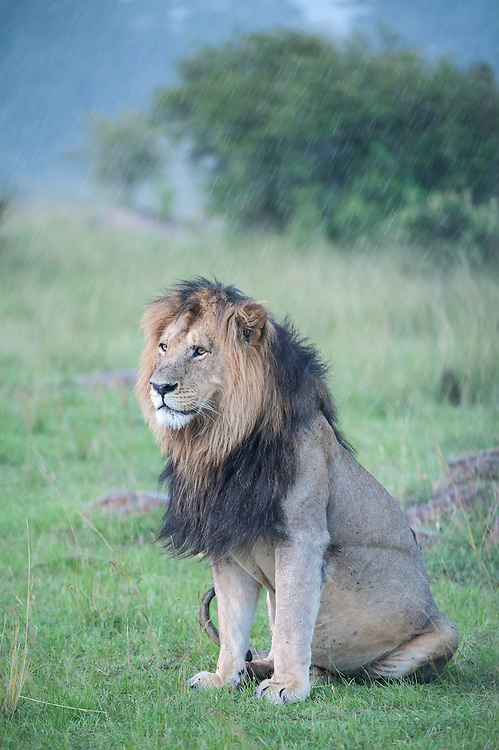Male lion (Panthera leo) sitting in the rain