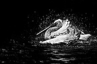 Great white pelican enjoying a cooling bath