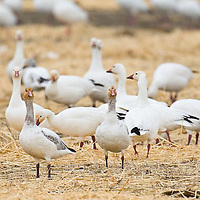 snow geese feed in grain stubble