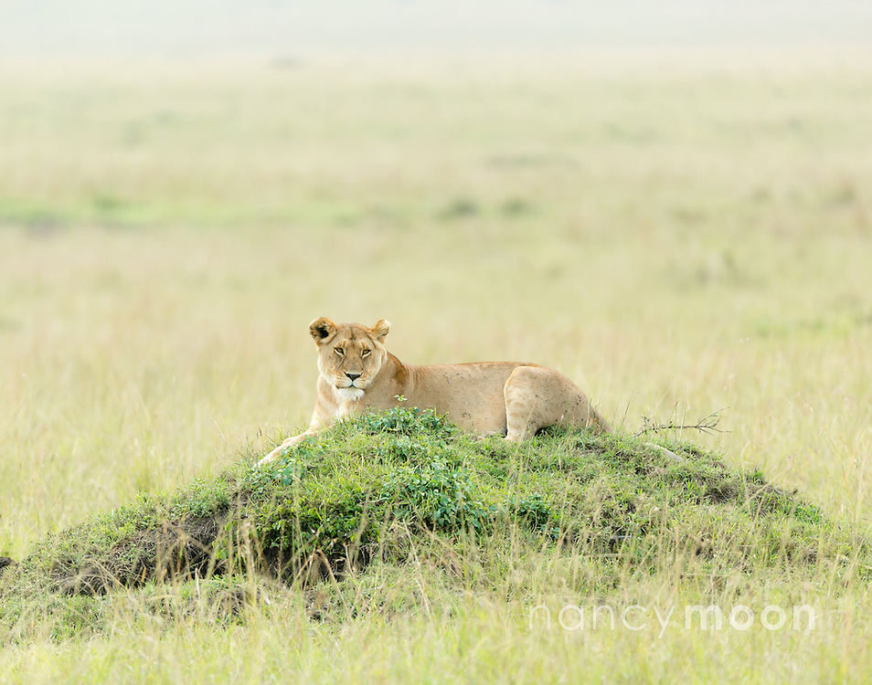 Spotted a lioness resting on a termite mound in Kenya. Termite mounds offer the animals another vantage point.<br />