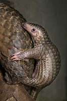 Sunda pangolin<br /> Manis javanica<br /> Two-month-old baby clinging to mother's back (mother was rescued from poachers when she was pregnant and later gave birth while in rehabilitation)<br /> Carnivore and Pangolin Conservation Program, Cuc Phuong National Park, Vietnam<br /> *captive