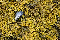 A blue mussel shell on rockweed on McGlathery Island in Maine's Penobscot Bay.