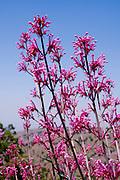 Israel, Hermon Mountain Flowering Centranthus longiflorus AKA Red-valerian