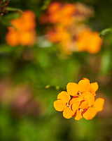 Siberian Wallflowers. Image taken with a Nikon D850 camera and 105 mm f/1.4 lens (ISO 64, 105 mm, f/1.4, 1/8000 sec).