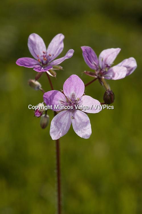 Redstem filaree or Common Stork's-bill (Erodium cicutarium)