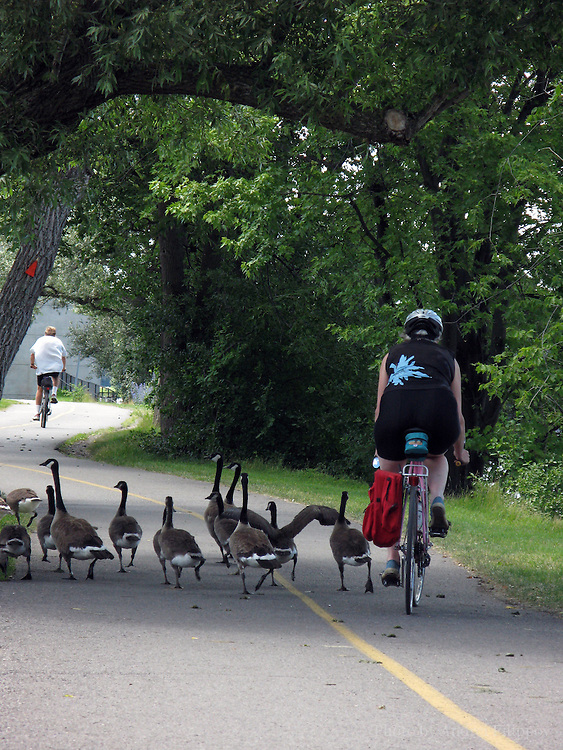 July 10, 2008 - Ottawa, ON. Geese block a bike path preventing bicyclists from riding. Canada Geese have reportedly become problems in towns and cities.
