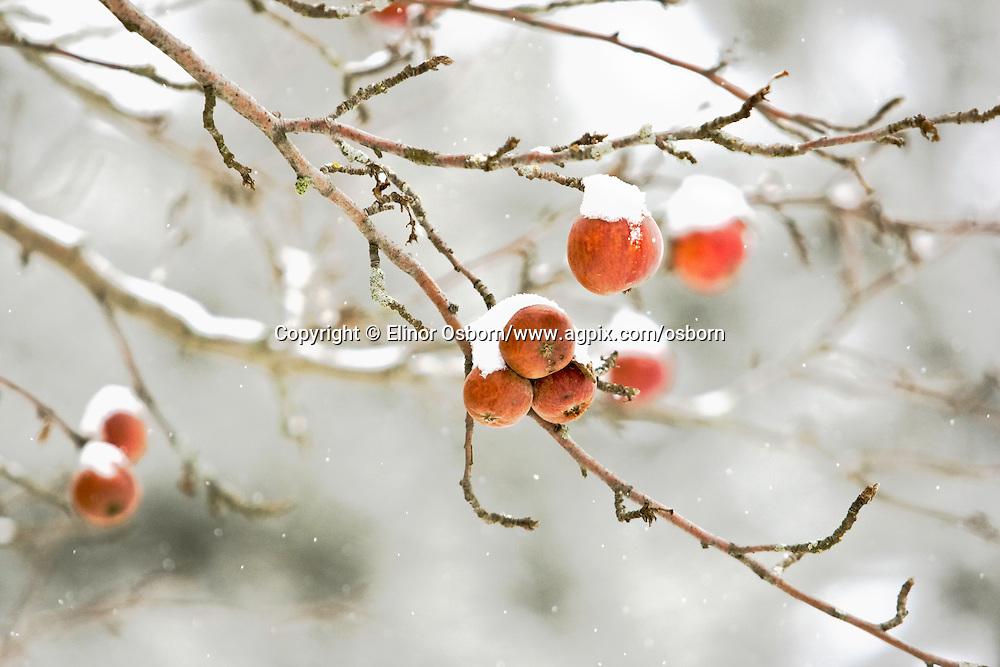 Wild Apples in Snow