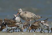 Mixed species of waders feeding on horseshoe crab eggs<br /> Little St Simon's Island, Barrier Islands, Georgia<br /> USA<br /> HABITAT & RANGE: