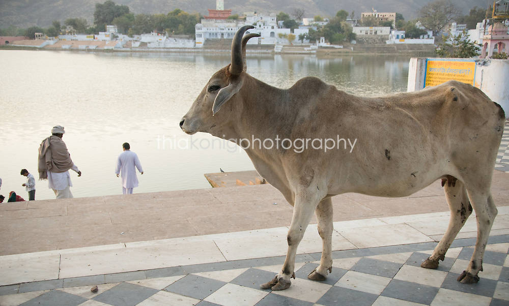 A wandering Brahma cow walks on checkered marble tile on the banks of Pushkar Lake, India.