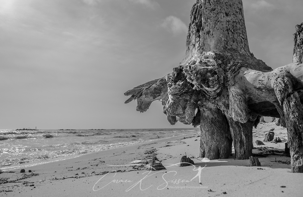 A tree's roots are exposed due to erosion on Dauphin Island, Alabama. (Photo by Carmen K. Sisson/Cloudybright)