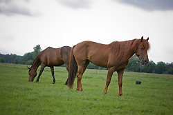 Morgan horses<br /> © Hippo Foto - Dirk Caremans
