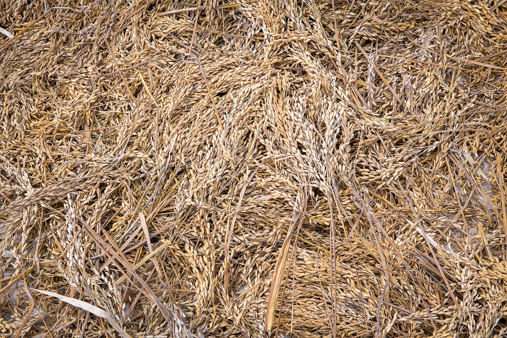 Full frame of harvested African rice, Gbedin village, Nimba County, Liberia