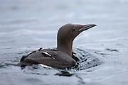 Guillemot svimming in the sea | Lomvi som svømmer i sjøen.