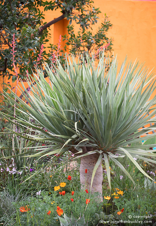 Dracaena draco, Dragon tree<br /> Beneath a Mexican Sky Garden<br /> RHS Chelsea Flower Show 2017<br /> Design: Manoj Malde<br /> Built by: Living Landscapes<br /> Sponsored by: Inland Homes PLC<br /> Photography &copy; Copyright Jonathan Buckley