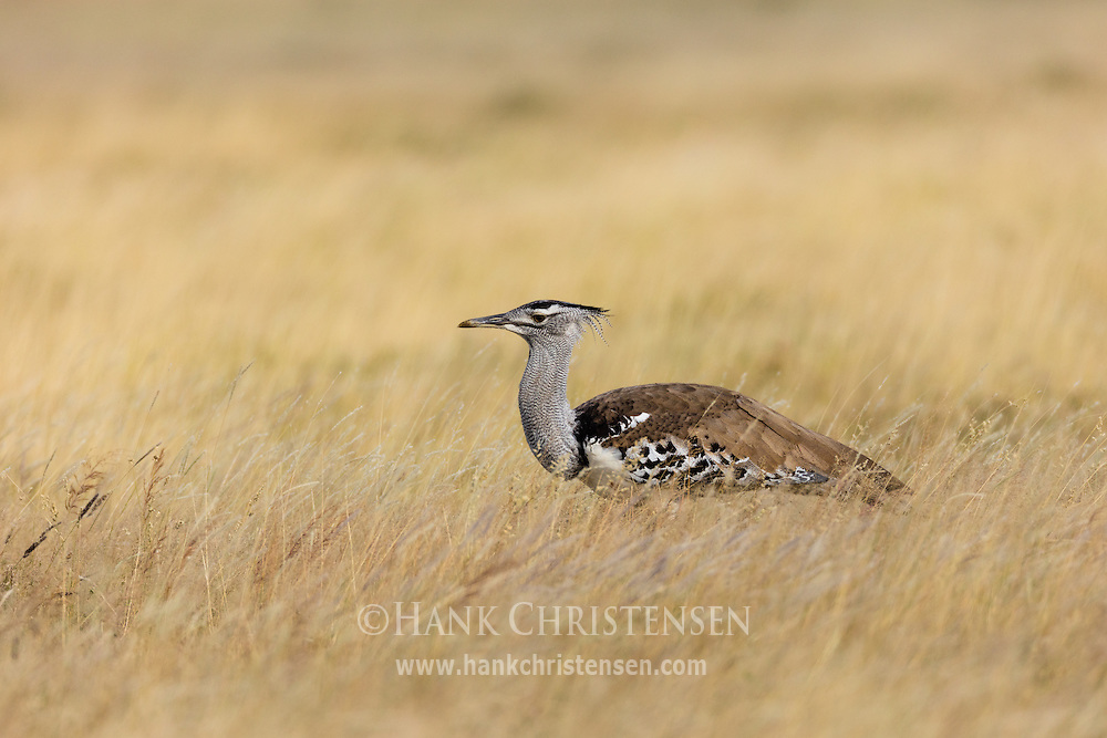 A kori bustard stalks through the tall grass of a savanna, Etosha National Park, Namibia.