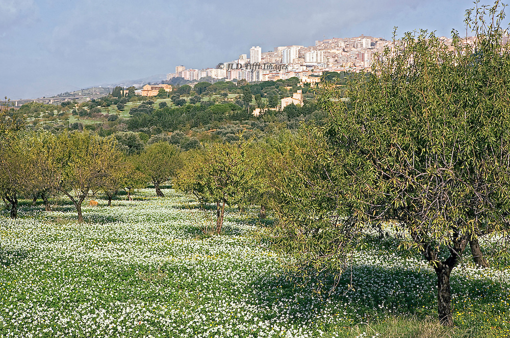 View of Agrigento across a field of olive trees carpeted with white flowers.