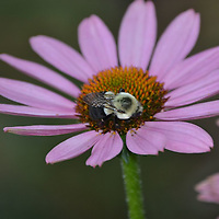 Bumble Bee collecting pollen from an Echinacea blossom.