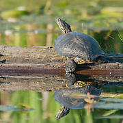 Red-eared slider (Trachemys scripta elegans) at the Washington Park Arboretum, Seattle, Washington. Photo by William Byrne Drumm.