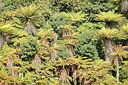 Ponga forest, Stewart Island, New Zealand