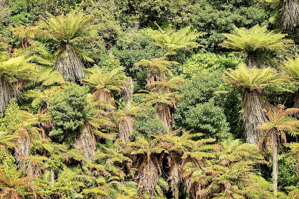 Ponga forest, Stewart Island, New Zealand