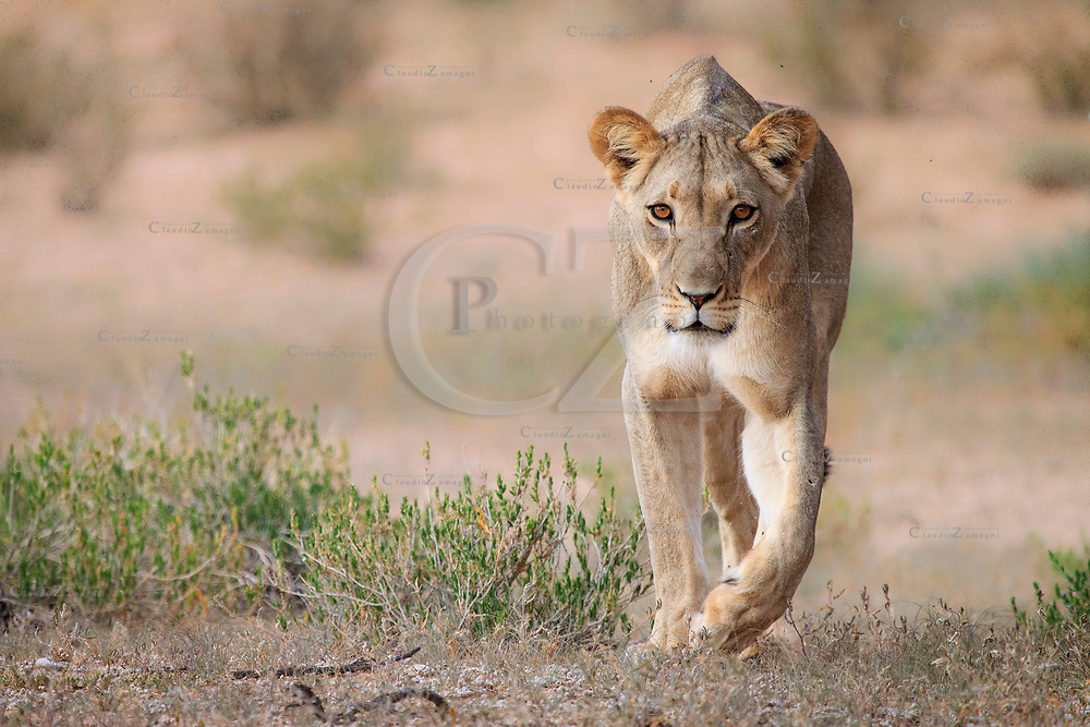 Lioness Walking in Kgalagadi Transfrontier park South Africa<br />