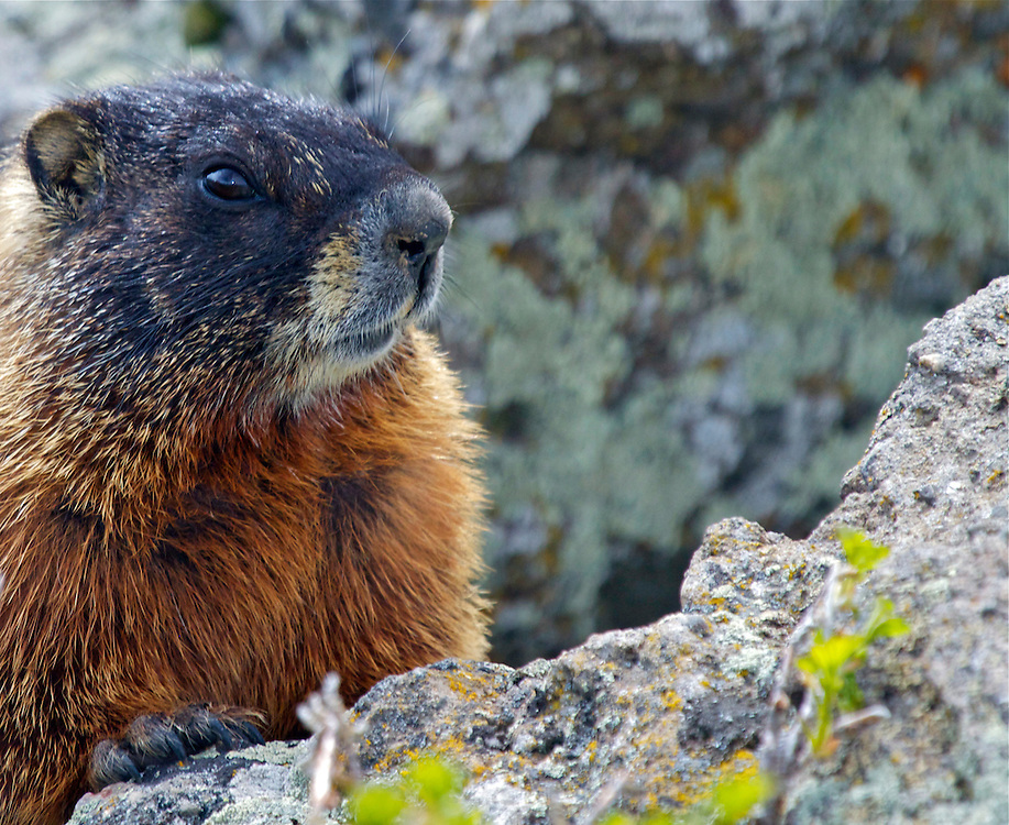 Yellow-Bellied Marmot, Yellowstone National Park